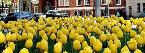 Park Avenue's Annual Tulip Dig