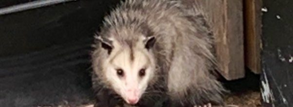 Cops Catch and Rescue Possum from Upper East Side Street